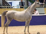 Saphira successful in Aachen 2008