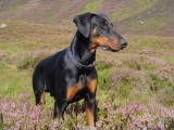 mit Dobermann Spikey in Schottland