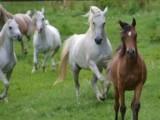 Stuten vom Araber Gestuet Malenga Arabians
