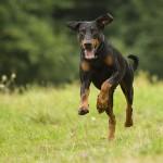 Unser Dobermann - Wachhund auf Gut Peterhof