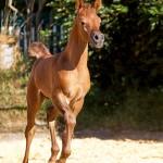 Kilroy MA - bred & owned by Malenga Arabians