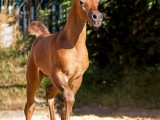 Kilroy MA - bred & owned by Malenga Arabians