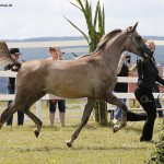Kilroy MA is Classwinner yearling colts & unanimous GoldChampion Junior Stallion German Breeders Cup 2016 at Kauberplatte - bred and owned by Malenga Arabians