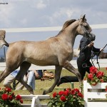 Kilroy MA is unanimous GoldChampion Junior Stallion German Breeders Cup 2016 with Annika Wagener on the lead