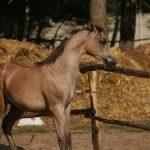 El Pusza Ps as foal - not weaned