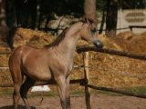 El Pusza Ps as foal - not weaned