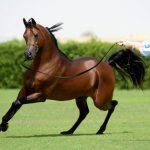 Fa El Rasheem (FA El Shawan x Virtuosa MLR)