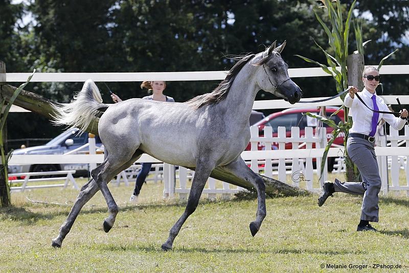 Araber Zu Verkaufen Pferde Von Privatgest 252 T Hengst